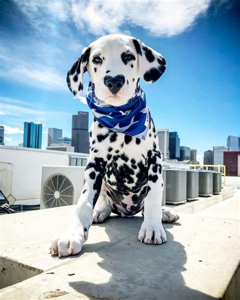 Meet Wiley, The Dalmatian Puppy With A Heart-Shaped Nose