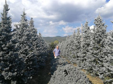 Large Colorado Blue Spruce and Holy Trees