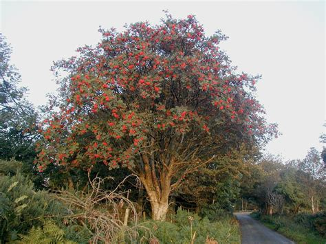 List of trees of Great Britain and Ireland - Wikipedia