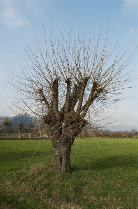Guide To Mulberry Tree Pruning: Information On Pruning