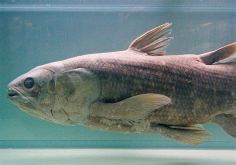 """Coelacanth, the Famous """"Living Fossil"""" Fish, Gets"""
