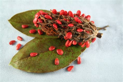 Magnolia Seed Pods – Tips For Growing Magnolias From Seed
